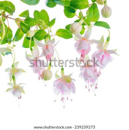 blossoming beautiful delicate white with pink fuchsia, isolated on white background, ` Frank Unsworth`, closeup  - stock photo