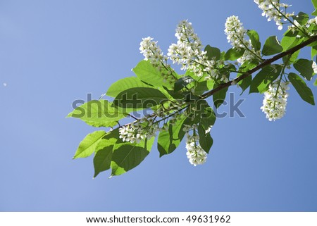 Blossoming bird cherry branch  (Prunus padus) close up on the blue sky background  - stock photo