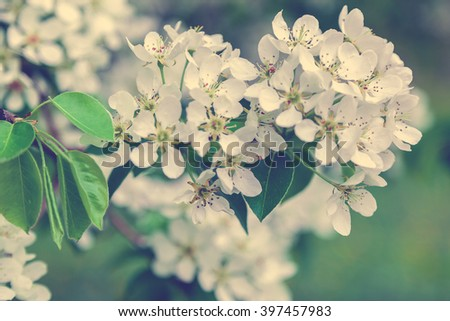 Blossoming branch of a pear tree on a bright sunny spring day. - stock photo