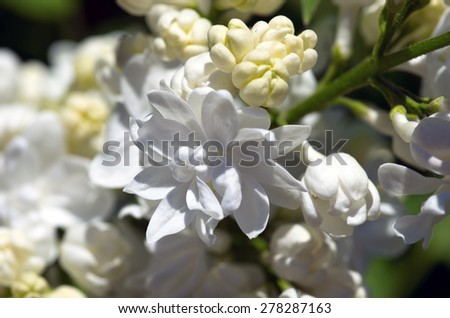 Blossoming branch of a white lilac close-up - stock photo
