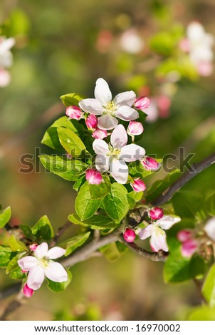Blossoming branch of an apple-tree. A close up. - stock photo