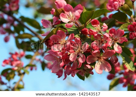 Blossoming branch of apple - stock photo