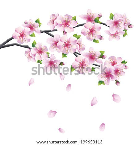 Blossoming branch of sakura - Japanese cherry tree with falling petal. Beautiful cherry blossom pink - violet, isolated on white background. - stock photo