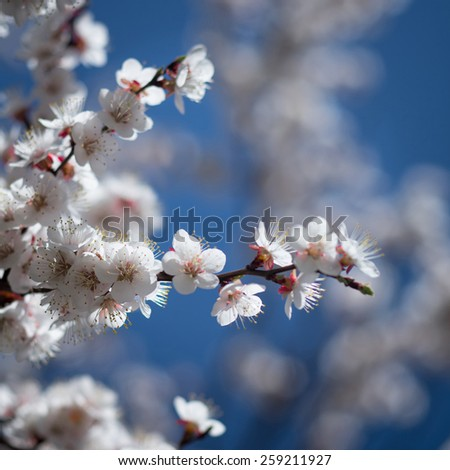 Blossoming branch of tree with white flowers on blue sky background - stock photo