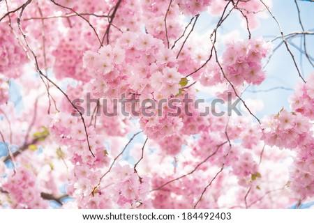 blossoming cherry tree - stock photo