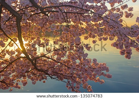 Blossoming cherry trees at dawn around Tidal Basin, Washington DC - stock photo