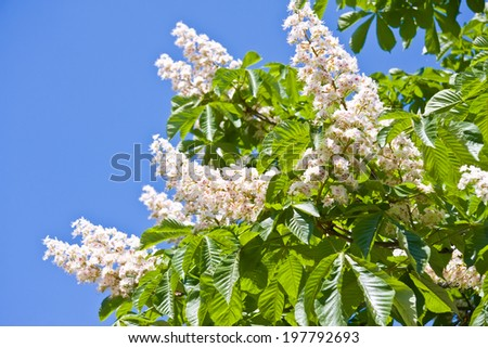 Blossoming Chestnut Tree against clear blue sky - stock photo