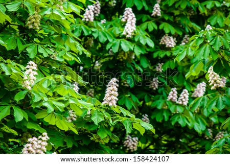 blossoming chestnut tree in spring, close up - stock photo