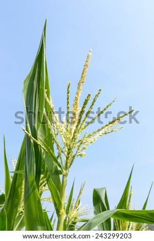 Blossoming corn. Corn fields. Organic corn fields - stock photo