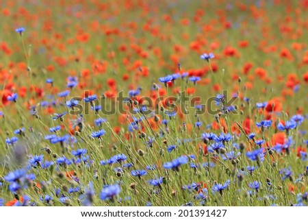blossoming cornflowers and blurred poppies in the background - stock photo