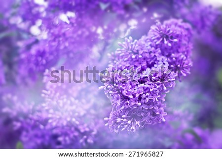 Blossoming fragrant flowers of lilac in the garden. Spring nature beauty. - stock photo