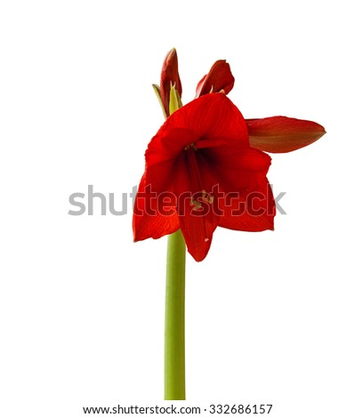 Blossoming Hippeastrum red flower on a white background isolation - stock photo