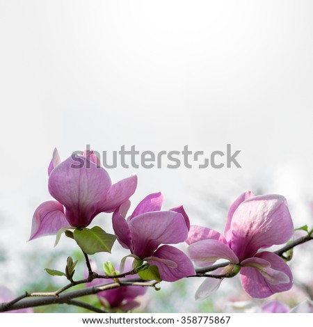 Blossoming magnolia flowers against neutral sky background in spring time. Flowers natural background, square composition with copy space. - stock photo