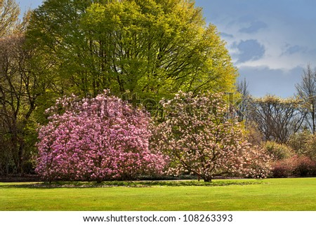 Blossoming magnolia in the park in spring. Landscape. - stock photo