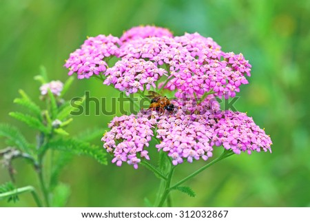 Blossoming of a pink yarrow close up - stock photo