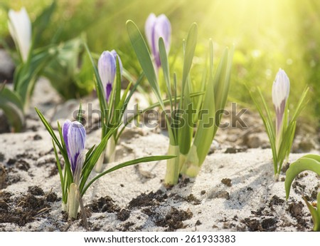 Blossoming of blue purple crocus flower at spring, easter backgorund - stock photo