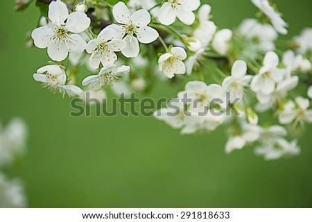 Blossoming of cherry flowers in spring time with green leaves, corner frame - stock photo