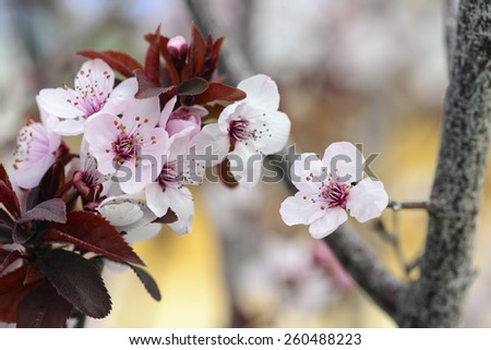 Blossoming of cherry flowers in spring time with green leaves, prunus cerasifera, macro photography - stock photo