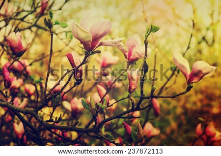 Blossoming of magnolia flowers in spring time, retro vintage hipster image - stock photo