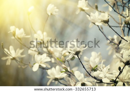 Blossoming of magnolia flowers in spring time, sunny vintage floral background - stock photo