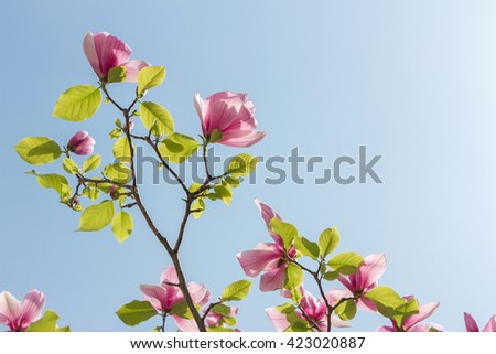 Blossoming of pink magnolia flowers in spring time. Beautiful magnolia flowers on clear sky background. Place for your text. View on light shining through leaves on many spring short-lived flowers. Up - stock photo