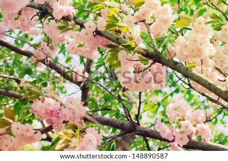 Blossoming of sakura flowers, shallow depth of field - stock photo