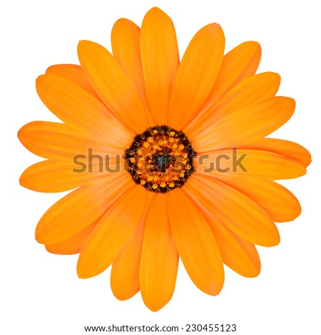 Blossoming Orange Pot Marigold Flower - Beautiful Calendula officinalis in Full Bloom Isolated on White Background. - stock photo