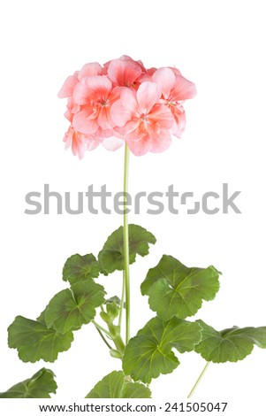 Blossoming pink geranium on a white background - stock photo