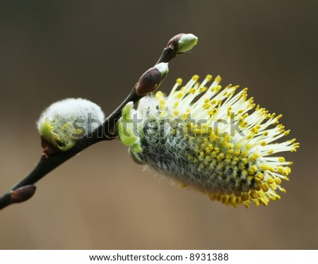 Blossoming pussy-willow - stock photo