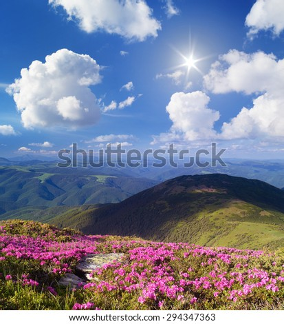 Blossoming rhododendron in mountains. Summer landscape with pink flowers. Sunny day. Carpathian Mountains, Ukraine - stock photo
