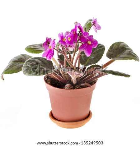 Blossoming Saintpaulia potted plant  isolated on white background - stock photo
