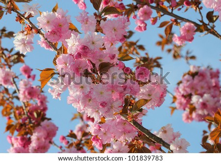 Blossoming sakura with pink flowers against blue sky - stock photo