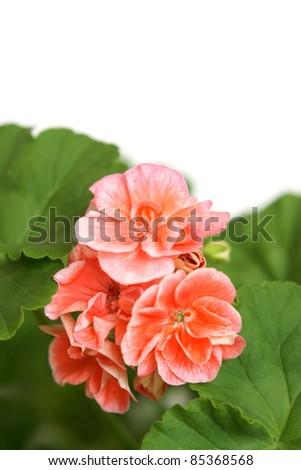 Blossoming salmon geranium on a white background - stock photo