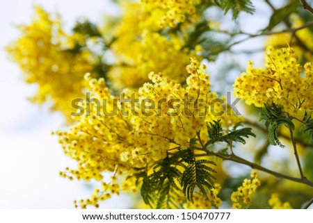 Blossoming spring Acacia dealbata with buds  - stock photo