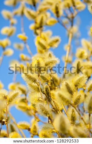 Blossoming spring willow twig with buds on blur background - stock photo
