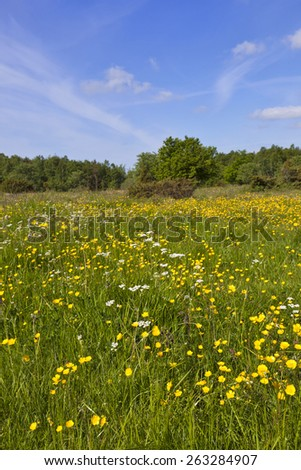 Blossoming summer meadow with buttercups - stock photo