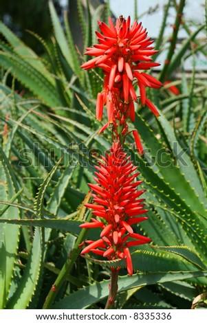Blossoming thrickets of a herb  Aloe Vera - stock photo