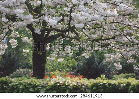 blossoming tree and blooming flowers in dutch garden 'Keukenhof', Holland, - stock photo