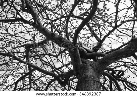 Blossoming tree in early spring. View from below. Aged photo. Black and white. - stock photo