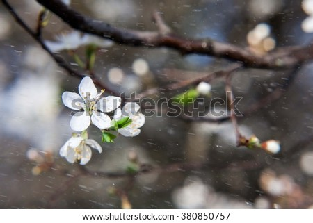Blossoming tree of an oriental cherry and drop of a rain. Spring blossoming of an apple-tree. The blossoming apple-tree. The blossoming cherry. The blossoming apricot. Drop of a rain.  - stock photo