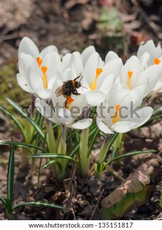 Blossoming white crocuses in spring garden - stock photo
