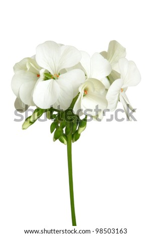 Blossoming white geranium isolated on a white background - stock photo
