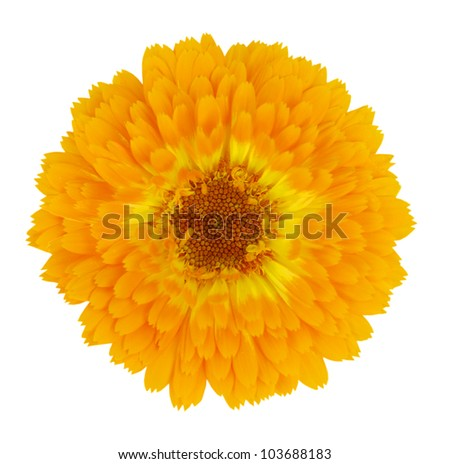 Blossoming Yellow Gerbera Flower in - Beautiful Gerbera aurantiaca Isolated on White Background - stock photo
