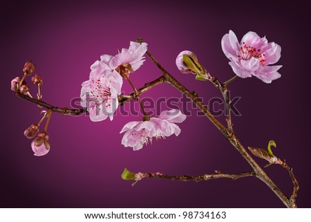 Blossoms from a flowering plum tree. With clipping path. Purple Leaf Plum  (Prunus cerasifera - Thundercloud) - stock photo