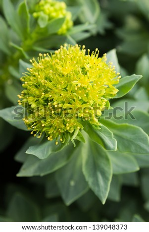 Blossoms Golden Root, he same Roseroot, Aaron's Rod - stock photo