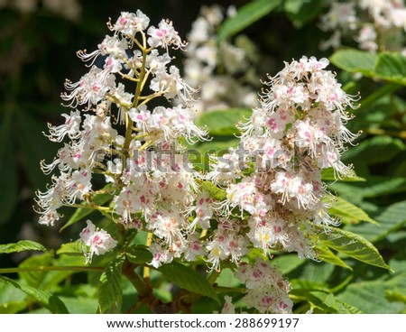 Blossoms of a chestnut tree / Chestnut tree - stock photo