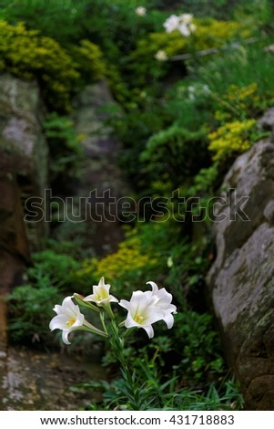 Blossoms of white Lilium Formosanum ( a native species of Lilies, also known as Formosa Lily or Taiwanese Lily ) in spring season on the rugged cliff by the northeast coast of Taiwan - stock photo