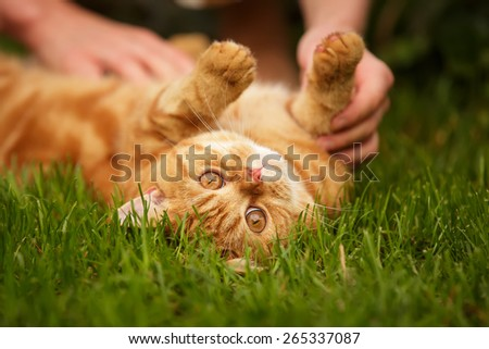 Blotched Red British Cat laying on the grass with human hands - stock photo