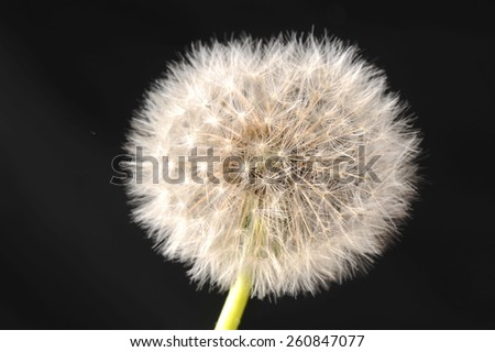 Blow ball of dandelion flower isolated on black background  - stock photo