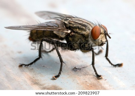 Blow fly, carrion fly, bluebottles, greenbottles, or cluster fly - stock photo